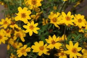 መስቀል Meskel Daises Aka Adey Abeba Flowers